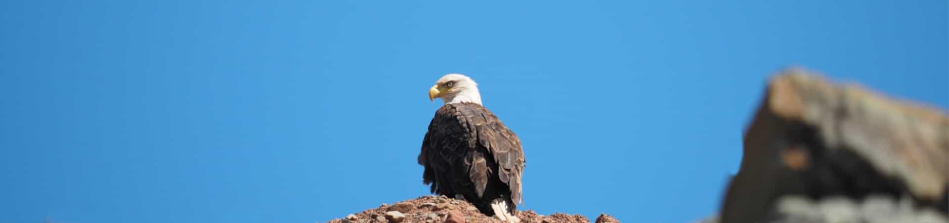 Kanada Bald Eagle
